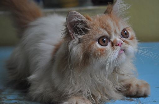 Gambar Kucing Persia Flatnose
