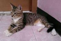 Kucing-Persia-Mix-Dome