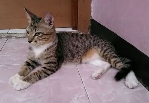 Kucing Persia Mix Dome