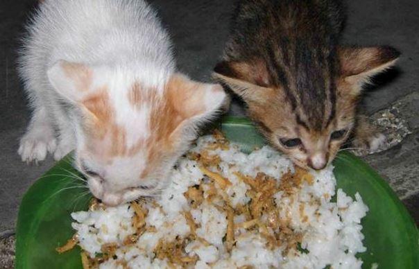 Makanan Kucing Kampung Agar Cepat Gemuk