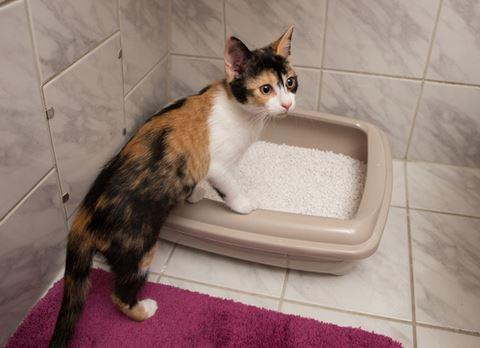 kucing sulit buang air