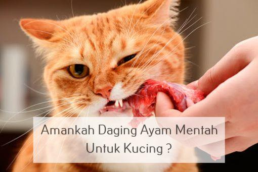 Amankah Daging Ayam Mentah Untuk Kucing