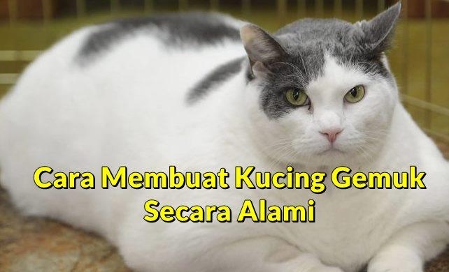 Cara Membuat Kucing Gemuk Secara Alami