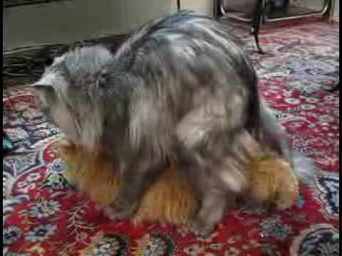 Cara Mengawinkan Kucing Persia