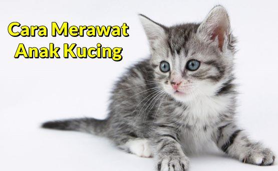 Cara Merawat Anak Kucing Yang Benar