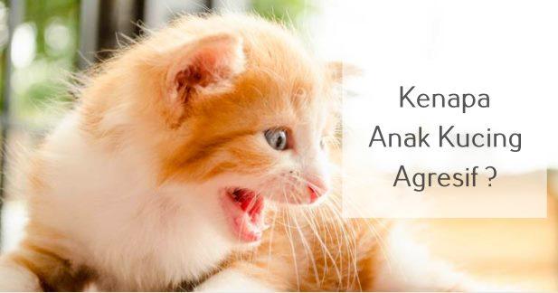 Kenapa Anak Kucing Agresif